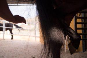 limpiar cascos caballos